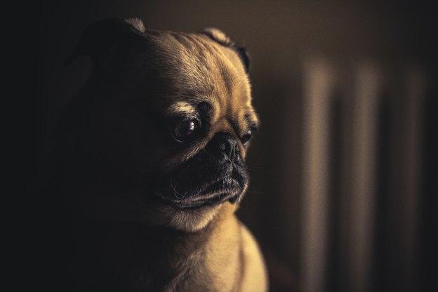 سگ نژاد پاگ