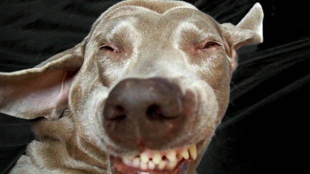 چرا سگ ها عطسه می کنند؟