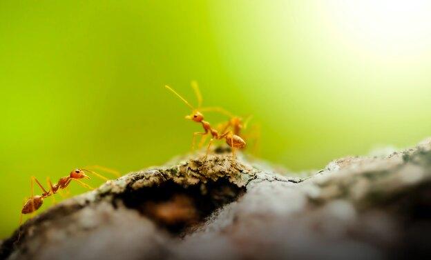 چگونه از شر مورچه ها خلاص شویم؟