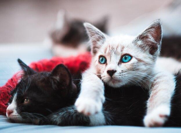 چطور کک گربه را با مواد طبیعی از بین ببریم؟