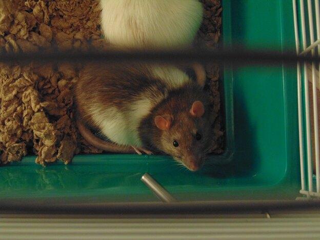 چطور موش را در خانه پیدا کنیم؟