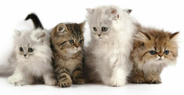راهنمای مشتریان سنجاق: نژادهای مطرح گربه در ایران کدامند؟