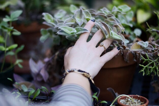 سمپاشی: سفیدک پنیه ای روی گیاه