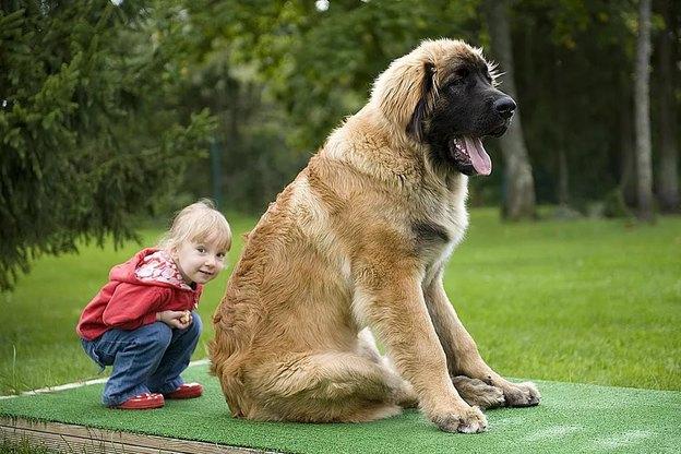 نژاد سگ؛ لئون برگر (Leonberger) یا لئو