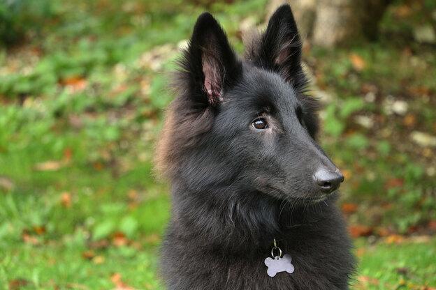 بهترین نژاد سگ نگهبان