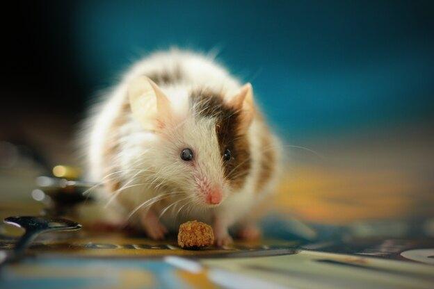 موش در خانه نشانه چیست؟