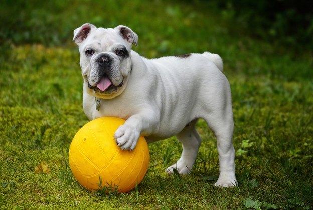 سگ نژاد بولداگ