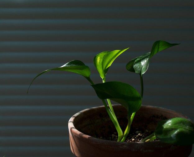 مراقبت از گیاهان پوتوس: انواع پتوس و روش تکثیر آن