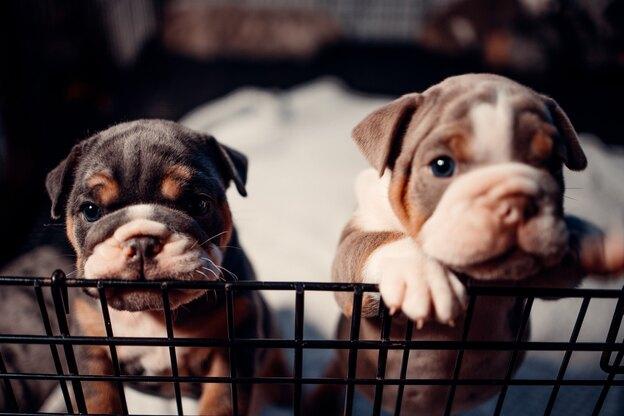 کدام نژاد سگ سالم تر است؟ سگ های دورگه یا نژادهای خالص؟