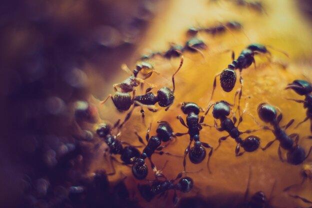 سه روش خانگی برای رهایی از مورچه ها