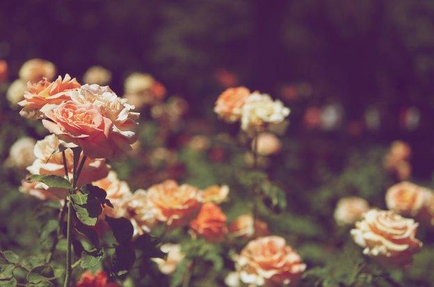 راهنمای کامل باغبانی، کاشت و پرورش گل رز
