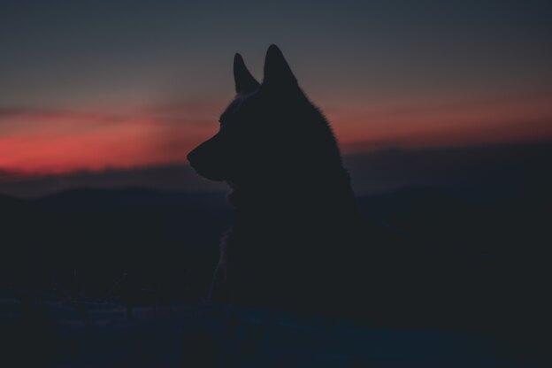 حقایقی درباره سگ گرگی