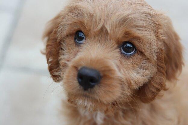 نژاد سگ کوچک برای آپارتمان (قسمت دوم)