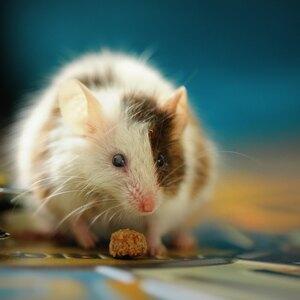 راهکارهای برای خلاصی از دست موش