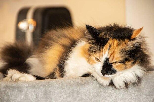 گربه مان باید چه واکسنی دریافت کند؟