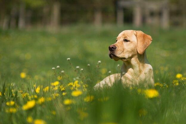 بزرگان نژاد سگ: غول های مهربان