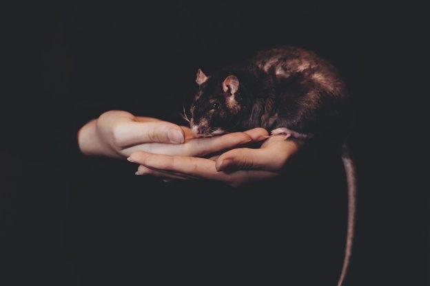 12 پرسش و پاسخ رایج درباره وجود موش در خانه