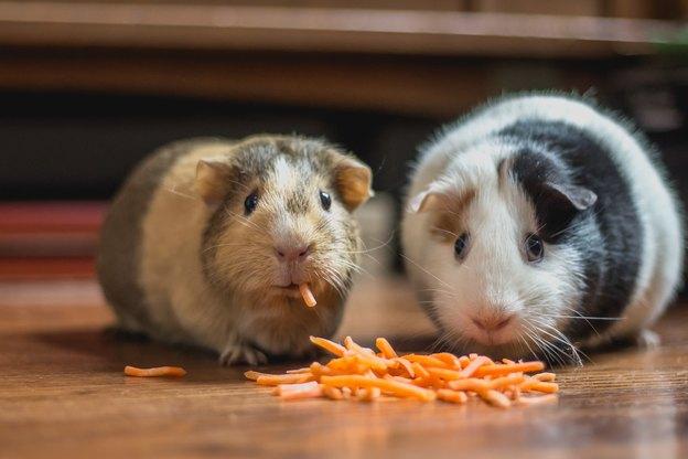 بیماری ها و آسیب های موش در خانه
