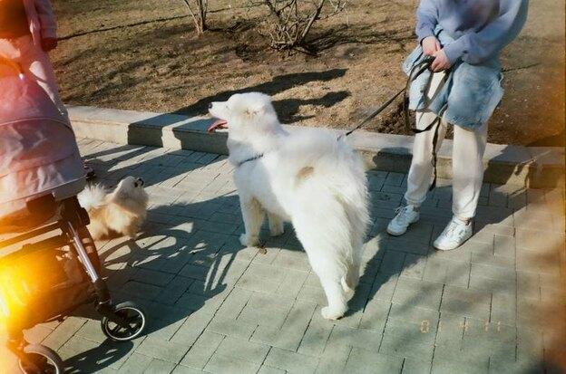 معرفی نژادهای سگ گرگی که می توانید در خانه نگه دارید