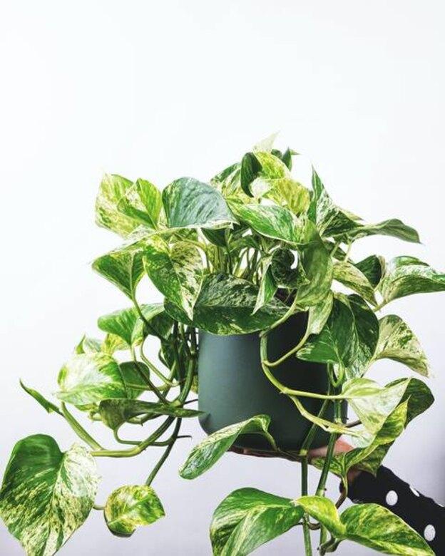 نحوه نگهداری و تقویت گیاه پتوس