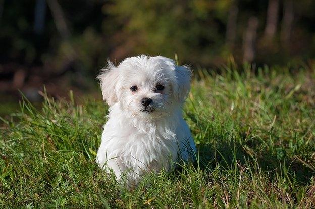 نژاد سگ تریر سفید وست هایلند