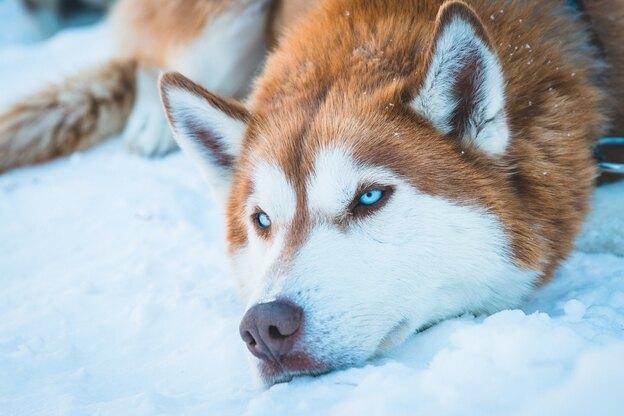 مراقبت و نگهداری از سگ گرگی