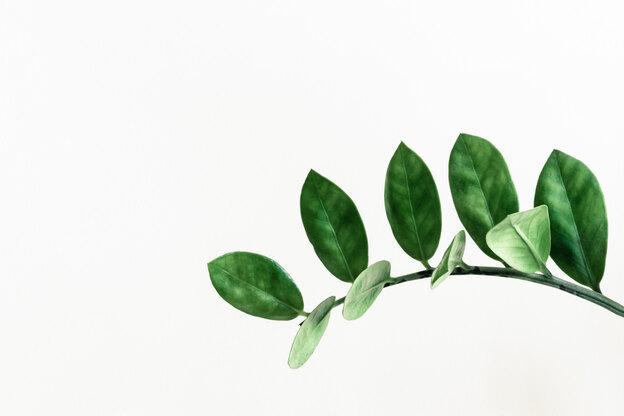 رشد سریع زاموفیلیا