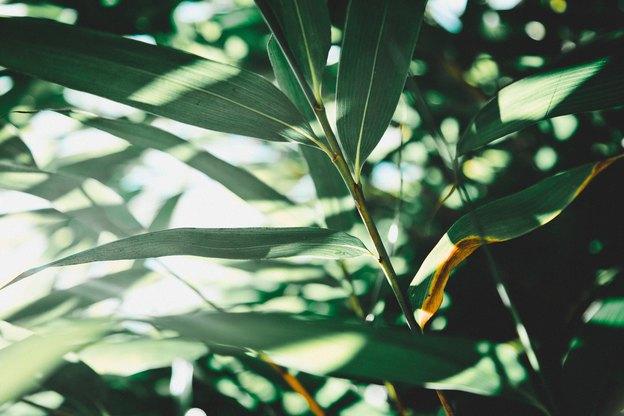 گیاهان آپارتمانی: خشک شدن و سوختن نوک برگ ها