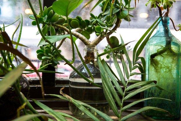 رشد سریع گیاهان آپارتمانی: گل یشم