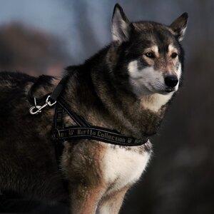 حرفه ای شیم: همه چیز درباره نگهداری سگ گرگی