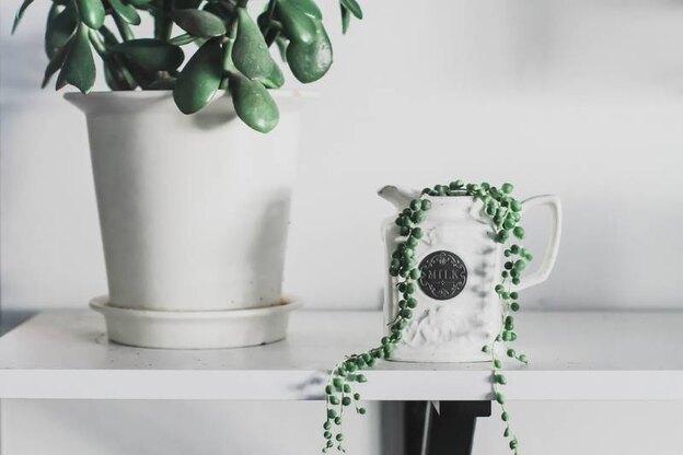 آیا می توان گیاه یشم را در گلدان سرامیکی کاشت؟