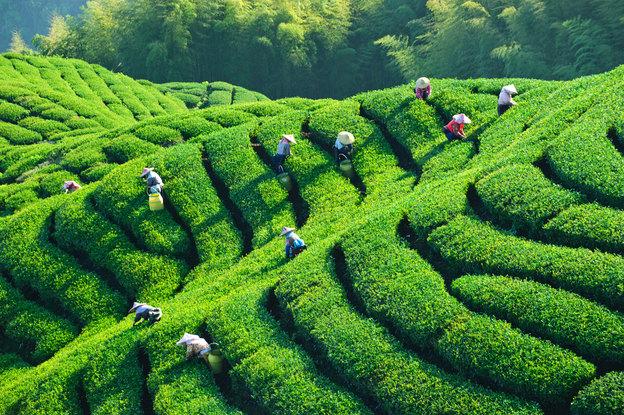 برگ چای برای رشد سریع گیاه