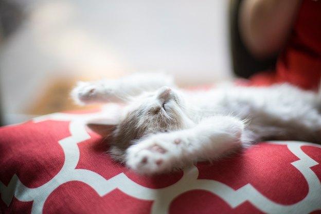 بچه گربه