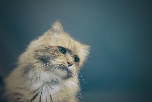 آیا زمان مناسب عقیم سازی گربه شما فرا رسیده است؟