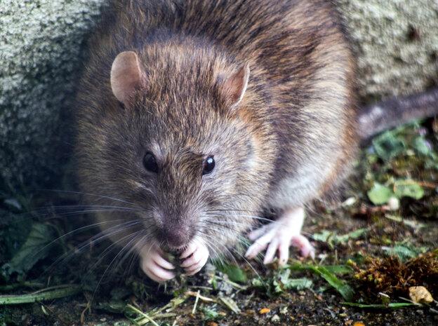 بهترین روش گرفتن موش