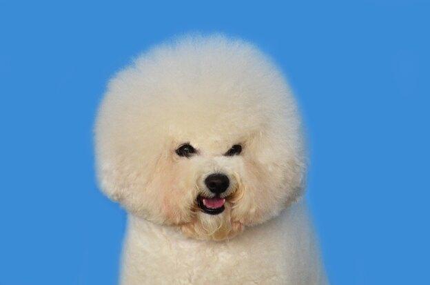 مدل موهای مناسب سگ نژاد بیچون فرایز