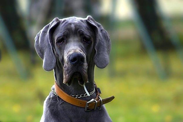 سگ نژاد گریت دین