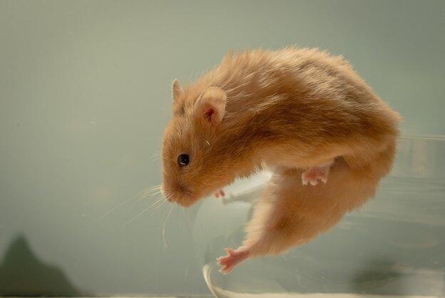 تفاوت انواع موش با موش صحرایی