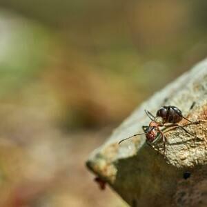 نحوه رهایی از شر مورچه های دزد و سمپاشی آن ها
