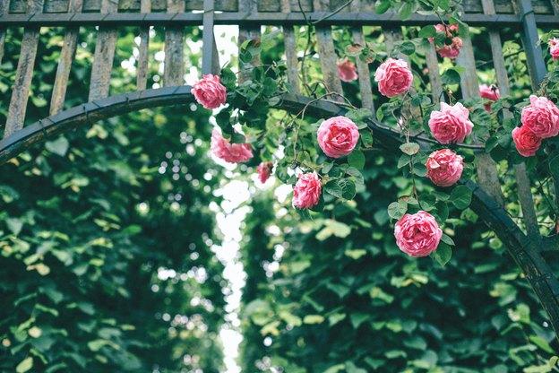 راز هرس گل رز