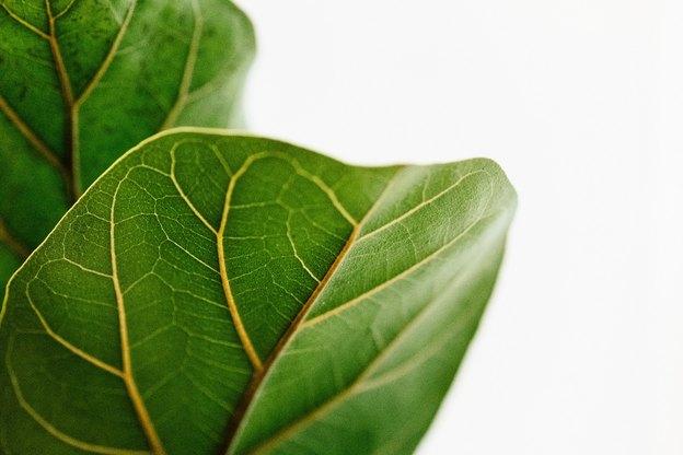 چرا باید برگ های گیاهان خانگی را تمیز کنید؟