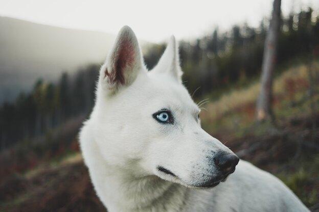 ۱۳ نژاد سگ گرگی