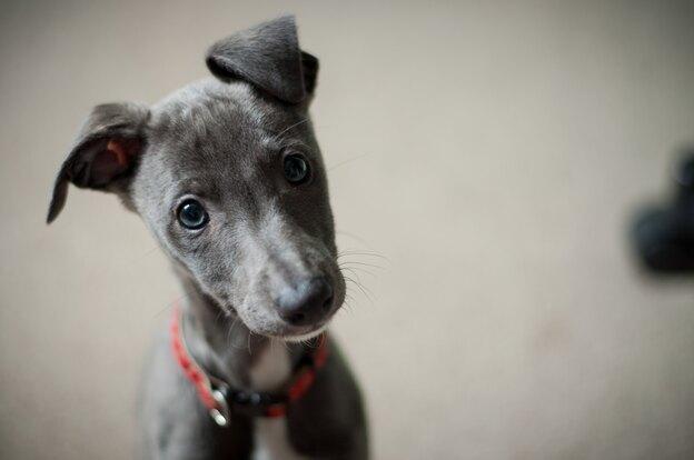 چطور حرفهای توله سگ را بفهمیم؟